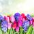 blue hyacinth and tulips stock photo © neirfy