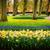 narcissen · vers · Geel · voorjaar · groeiend - stockfoto © neirfy