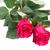 два · розовый · цветы · темно · свет - Сток-фото © neirfy