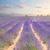 日没 · バイオレット · ラベンダー畑 · 太陽 · 風景 · フィールド - ストックフォト © neirfy