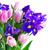 アイリス · 花 · 多くの · 孤立した · 白 - ストックフォト © neirfy