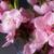 sakura · fleurs · floraison · belle · rose · cerisiers · en · fleurs - photo stock © neirfy