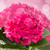 pink hortensia flowers close up stock photo © neirfy