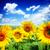field of sunflowers stock photo © neirfy