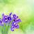 синий · Iris · цветы · ваза · изолированный - Сток-фото © neirfy