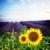 lavanda · girassol · campos · França · paisagem · verão - foto stock © neirfy