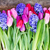 blue hyacinth and tulips stock photo © neirfy