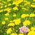 egy · sárga · virág · pitypang · izolált · fehér · közelkép - stock fotó © nejron