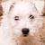 white puppy stock photo © nejron