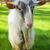 funny goat stock photo © nejron