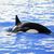 assassino · baleia · branco · cor · ilustração · água - foto stock © nejron