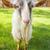 cabra · grama · verde · pequeno · branco · fresco · primavera - foto stock © nejron