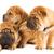 grupo · três · belo · sharpei · filhotes · de · cachorro · isolado - foto stock © nejron
