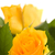 bouquet of yellow roses isolated on white background stock photo © nejron