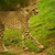gepárd · sétál · fű · játék · tartalék · Dél-Afrika - stock fotó © nejron