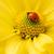カブトムシ · 黄色の花 · 赤 · ベルベット · 黄色 - ストックフォト © nejron