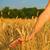 wheat field stock photo © nejron