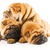 group of three beautiful sharpei puppies isolated on white backg stock photo © nejron