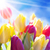 close up of sunny tulip flower meadow blue sky and bokeh effect stock photo © nelosa