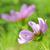 два · розовый · цветы · Розовые · розы · изолированный - Сток-фото © nelosa