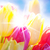 close up of tulip flower meadow with waterdrop and sunny blue sky stock photo © nelosa