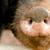 pig snout stock photo © nelsonart