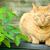 red tabby cat stock photo © nelsonart