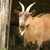 billy goat stock photo © nelsonart