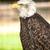 noorden · amerikaanse · kaal · adelaar · mooie · gezicht - stockfoto © nelsonart
