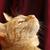 distraído · gato · gengibre · beleza · vermelho · animais - foto stock © nelsonart