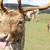 rude deer stock photo © nelsonart