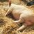 спальный · мало · фермы · трава · свинья · луговой - Сток-фото © nelsonart
