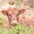 barna · tehén · arany · mező · fű · tájkép - stock fotó © nelsonart