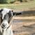 farmyard goat stock photo © nelsonart