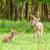 young red deer stock photo © nelsonart