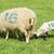madre · ovejas · bebé · cordero · campo · primavera - foto stock © nelsonart