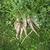 carotte · sol · organique · fraîches · croissant - photo stock © nessokv