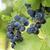 bunche of blue grapes stock photo © nessokv