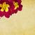 crimson primula old paper background stock photo © newt96