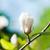 magnolia tree blossom stock photo © nickolya