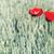 Red Poppy Flower stock photo © Nickolya