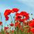 red poppy field stock photo © Nickolya