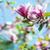 magnolia · boom · bloesem · roze · blauwe · hemel · bloem - stockfoto © nickolya