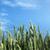 zöld · domb · búza · kék · ég · fű · nap - stock fotó © nickolya