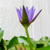 coloré · eau · Lily · Bangkok · Thaïlande · fleurs - photo stock © nicousnake