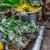 hortelã-pimenta · perene · planta · cortar · monte · cereja - foto stock © nikolaydonetsk