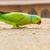 groene · papegaai · noord-india · Rood · tropische · indian - stockfoto © nilanewsom
