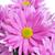 hermosa · púrpura · crisantemo · blanco · boda - foto stock © nito