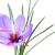 saffron flower stock photo © nito
