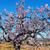 amande · branche · fleurir · isolé · blanche · fleurs - photo stock © nito